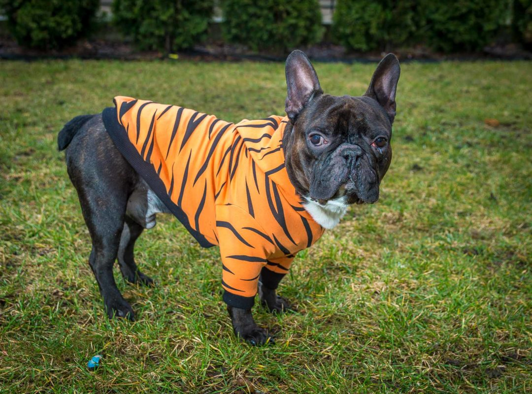 frenczi ubranka dla psów bluza