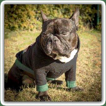 bluza dla psa frenczi dresówka bawełna sklep internetowy